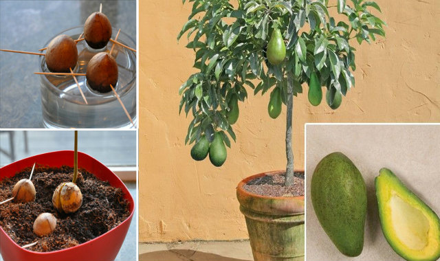 Stop Buying Avocados. Here's How You Can Grow an Avocado Tree in a Small Pot at Home