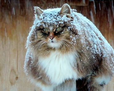 Siberian Farm Cats Have Taken Over This Farmer's Land, And They're Absolutely Majestic