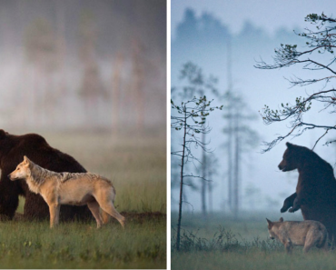 Photographer Documented The Friendship Between A Grey Wolf And A Brown Bear