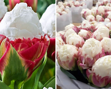 Ice Cream Tulips Are A Thing And They Are Mesmerizing