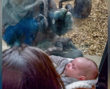 Gorilla Brings Her Baby To Meet Mom And Newborn On Other Side Of Glass