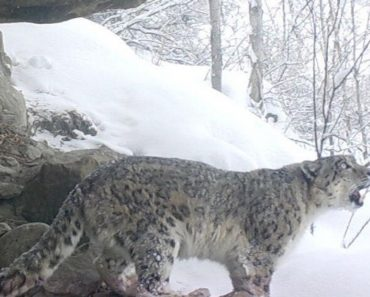 Video Footage Shows A Snow Leopards Call In The Wild