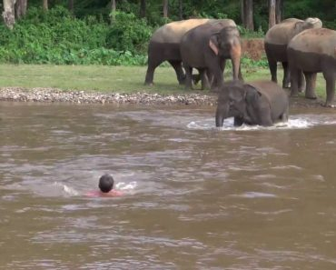 Baby Elephant Rushes Into River To Save Her Favorite Person From 'Drowning'