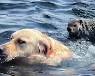 Golden Retriever Gives Woodchuck A Ride On His Back And A Goodbye Kiss