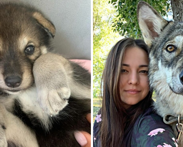 Wolf Abandonded By Its Mother Grows Up With Human Family