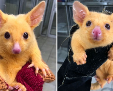 Australian Veterinary Clinic Rescued Rare Golden Possum That Looks Just Like Pikachu