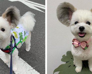 Dog Who Has Fluffy Ears Looks Like A Real-Life Mickey Mouse