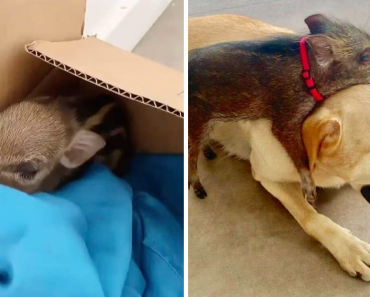 Woman Finds A Box On Her Doorstep With A Wild Baby Boar Inside And Adopted Him