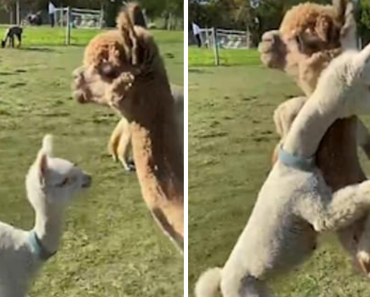Adorable Moment A Baby Alpaca Runs Over And Give Mother A Big Hug