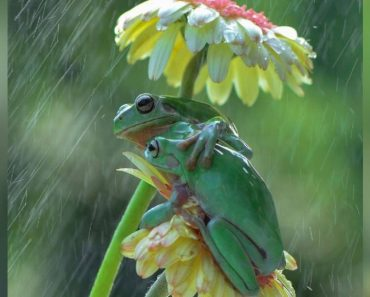 Photographer Captured Two Frogs Sharing A Sweet Hug In The Rain