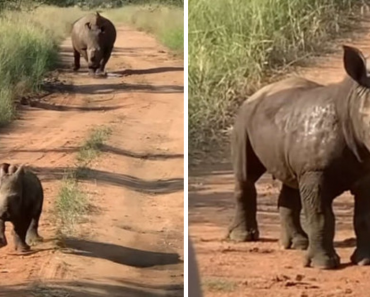 Adorable Baby Rhino Wants People To Know How Big And Tough He Is