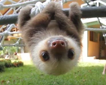 Rescued Adorable Baby Sloths Have A Conversation
