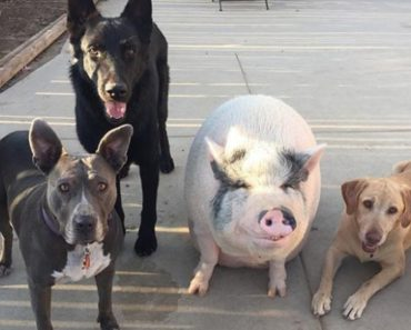 Pot-Bellied Pig Happily Raised with 5 Dogs Thinks He's Just Like His Canine Crew