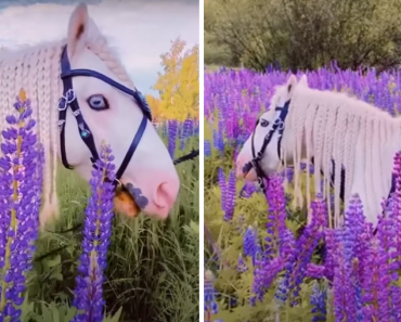 The Beauty Of Enchanting Blue-Eyed Cremello Horse In A Field Of Lupines