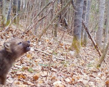 Trail Camera Captures The First Howls Of An Adorable Wolf Pup