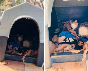 Sweet Pit Bull Invites Pregnant Stray Cat Into His House To Have Her Babies