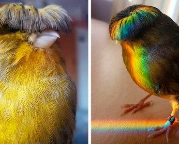 Meet Barry The Canary, The Bird With A Bowl Feather Cut