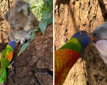 Photographer Captured A Rainbow Lorikeet Kissing A Rescued Koala