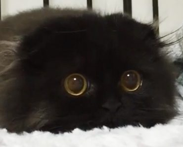 Meet Gimo, The Fluffy Black Cat With Adorable Big Eyes