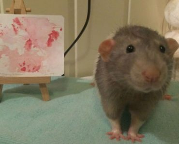 Meet Darius, The Rat Who Was Taught To Paint