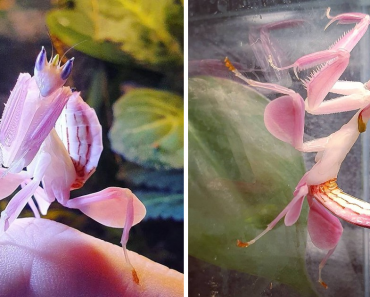 Orchid Mantis – The Beautiful Bug That Looks Just Like A Flower