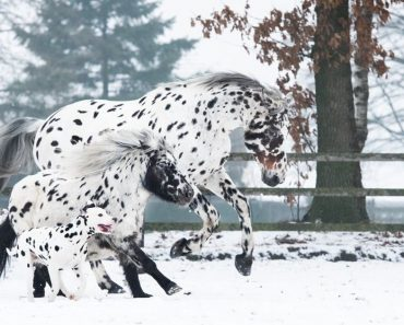 Trio Of Black Spotted Horse, Pony, And Dog Became Friends And Lives Together