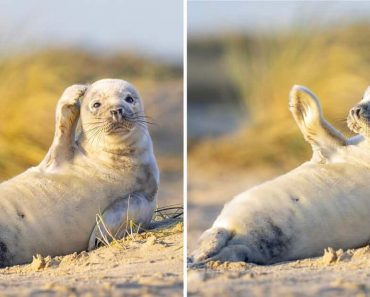Adorable Seal Pup Waves To The Camera While Sunbathing